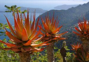Cote d'Azur: cactus in the exotic garden